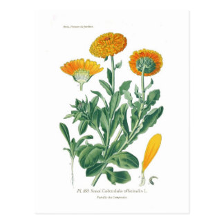 Calendula officinalis (Pot marigold) Postcard