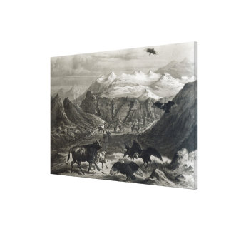 Calf being attacked by the Condors Canvas Print