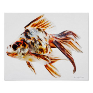 Calico Fantail Comet goldfish Poster