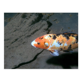 Calico Fish Postcard