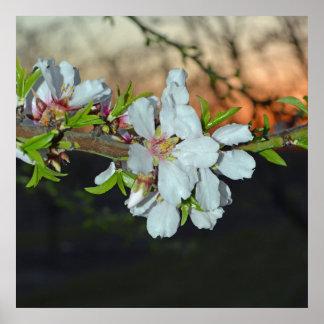 California Almond Blossom Poster