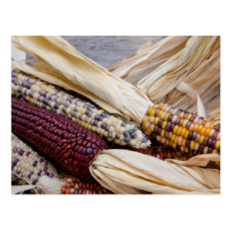 California. Fall Harvest Colorful Indian Corn Postcard
