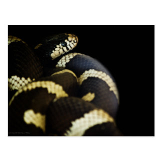 California King Snake Postcard