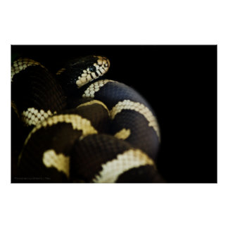 California King Snake Print