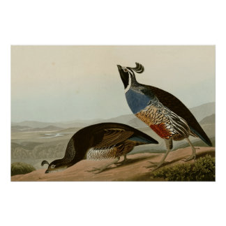 California Partridge Perfect Poster