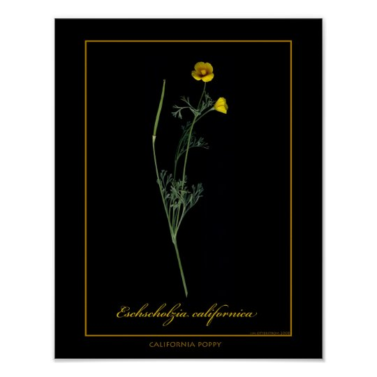 California Poppy Botanical Art Print
