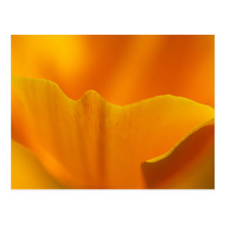 California Poppy Close-Up... Postcard