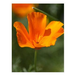 California Poppy (Eschscholzia californica) Postcard