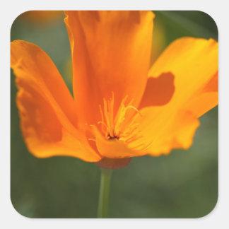 California Poppy (Eschscholzia californica) Square Sticker