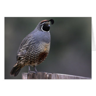 California Quail - Joe Sweeney - card