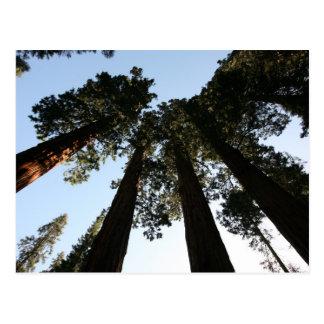 California Redwood Tree Postcard
