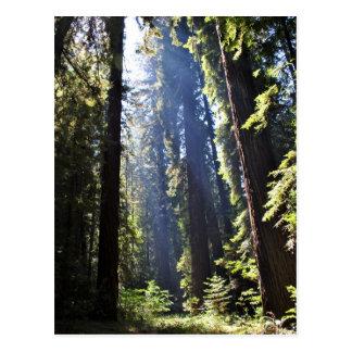 California Redwoods Postcard