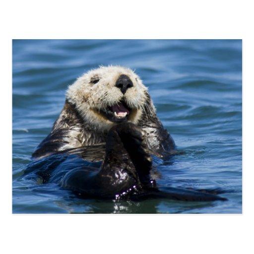 California Sea Otter Enhydra lutris) grooms Postcard