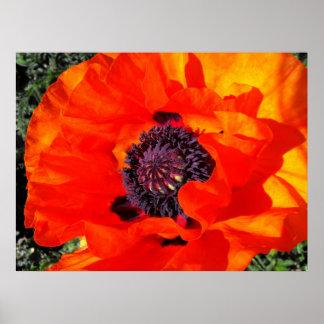 Californian Poppy Poster