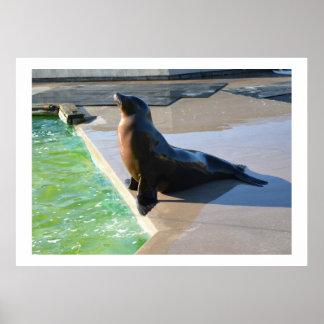 Californian sea lion poster