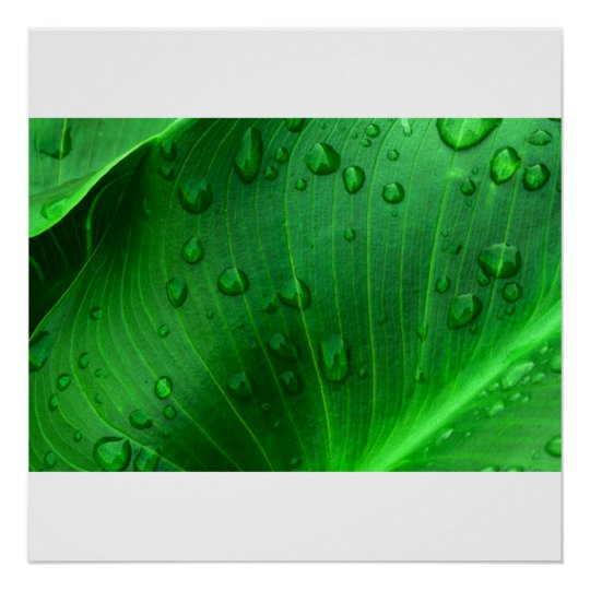 Calla Lily Leaf. Poster