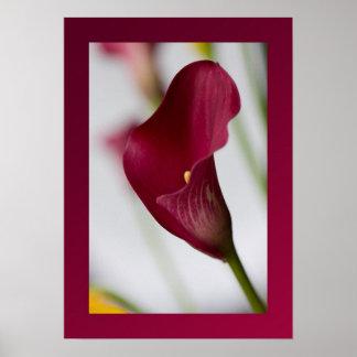 Calla lily Poster