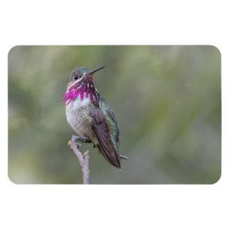 Calliope Hummingbird Large Photo Magnet