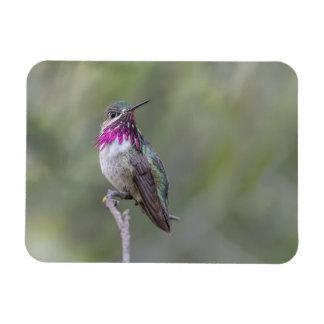 Calliope Hummingbird Small Magnet