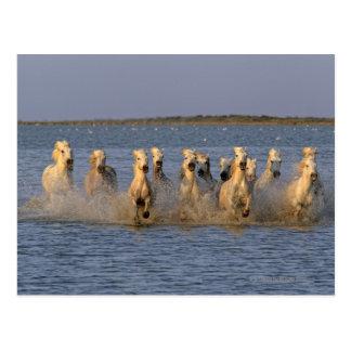Camargue Horse (Equus caballus) Postcard