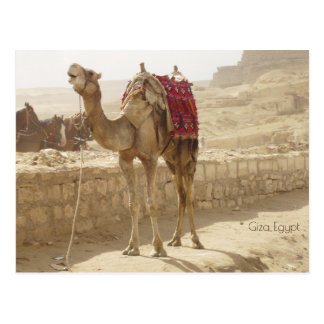 Camel in Giza Egypt Postcard