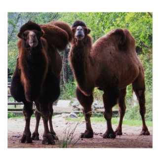 Camel Posters, Camel Art Poster