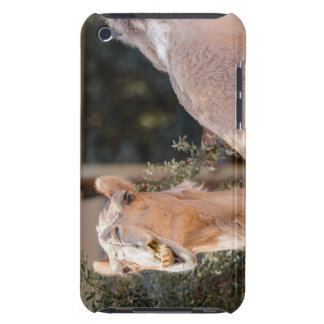 Camel staring while chewing barely there iPod cover
