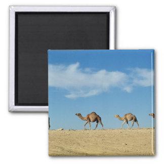 Camel train square magnet