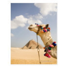 Camel with Pyramids Giza, Egypt Postcard