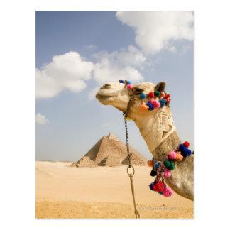 Camel with Pyramids Giza, Egypt Postcard