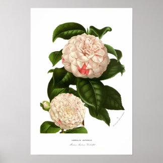 Camellia japonica poster