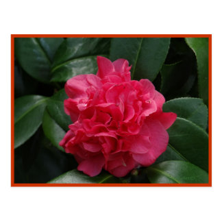 Camellia Rosy Red Ruffled Postcard