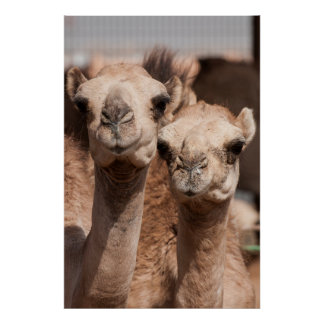 Camels at the Camel market in Al Ain near Dubai Poster