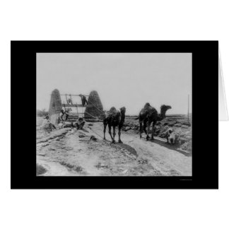 Camels Drawing Water for Irrigation 1905 Card