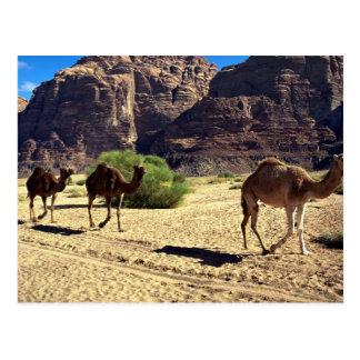 Camels in the desert of Wadi Rum, Jordan Desert Postcard