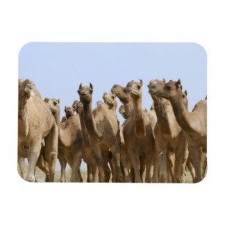 Camels in the desert, Pushkar, Rajasthan, India Rectangular Photo Magnet
