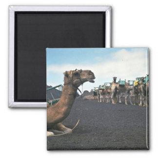 Camels, Lanzarote Magnet