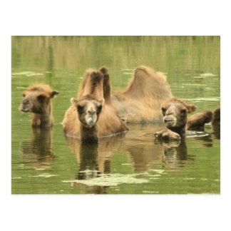 Camels Yum Postcard