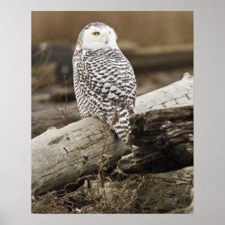 Canada, Boundary Bay, Snowy Owl Poster