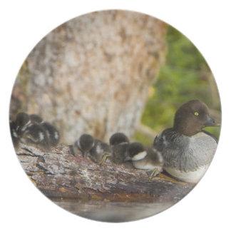 Canada, British Columbia,Common Goldeneye, Plates