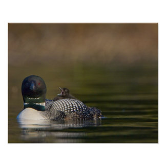 Canada, British Columbia,Common Loon, breeding 2 Poster