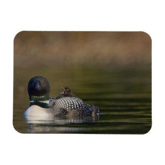 Canada, British Columbia,Common Loon, breeding 2 Vinyl Magnets