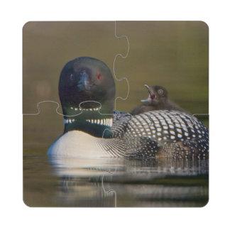 Canada, British Columbia,Common Loon, breeding 2 Puzzle Coaster