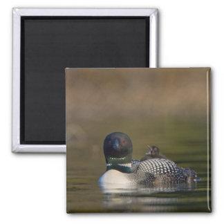 Canada, British Columbia,Common Loon, breeding 2 Square Magnet