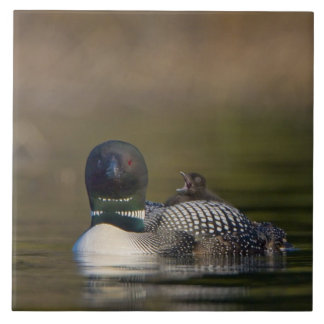 Canada, British Columbia,Common Loon, breeding 2 Tile
