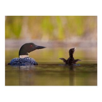 Canada, British Columbia,Common Loon, breeding 3 Postcard