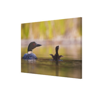 Canada, British Columbia,Common Loon, breeding 3 Stretched Canvas Print