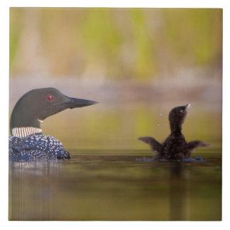 Canada, British Columbia,Common Loon, breeding 3 Tiles