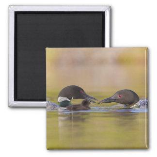 Canada British Columbia Common Loon breeding Refrigerator Magnet