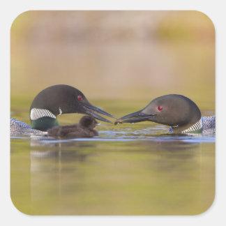 Canada, British Columbia,Common Loon, breeding Square Sticker